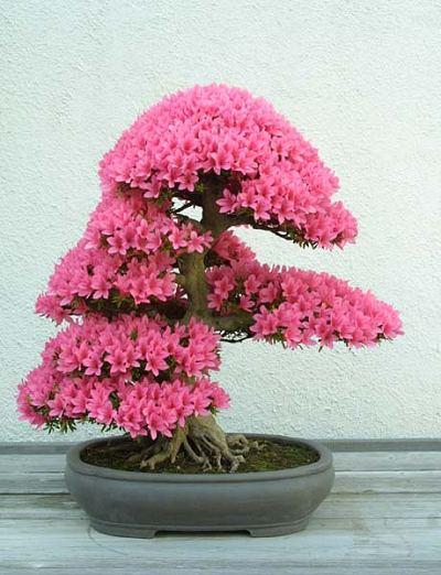 01-bonsai-tree-17