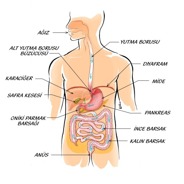 ekil-1-normal-anatomi-1024x1024